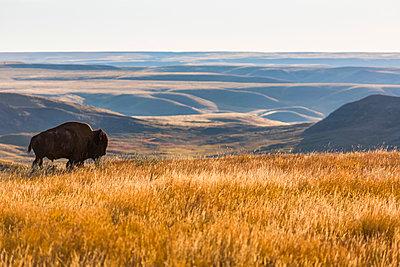 Bison (bison bison), Grasslands National Park; Saskatchewan, Canada - p442m1449128 by Robert Postma