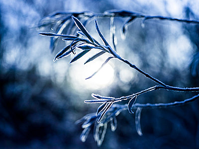 Hoarfrost on plant - p913m1044442 by LPF