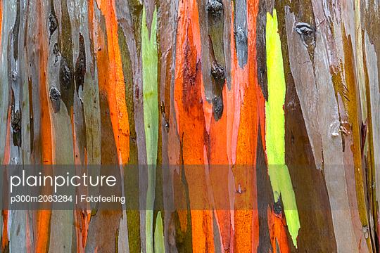 Detail of rainbow eucalyptus, Eucalyptus deglupta, close-up - p300m2083284 von Fotofeeling
