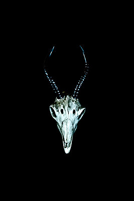 Model of an Antelope skull against a black background - p1302m2168651 by Richard Nixon