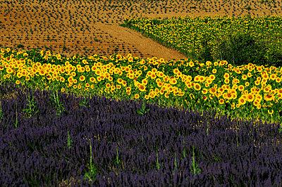 Lavendel und Sonnenblumen - p1468m1527653 von Philippe Leroux