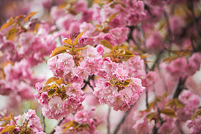 Blossoming almond tree, close-up - p300m1120911f by Anke Scheibe