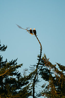 A pair of bald eagles sitting together on a bare tree branch - p1166m2171432 by Cavan Images