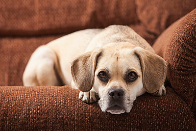 Dog laying on sofa - p555m1477974 by Mike Kemp