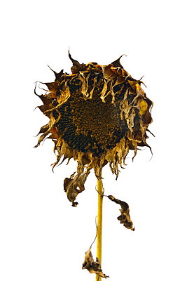 withered sunflower - p876m2073379 by ganguin