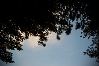 Silhouettes of Pine Trees - p938m754477 by Christina Holmes