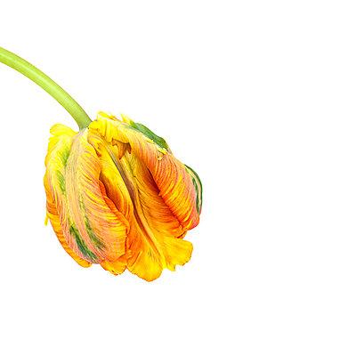 Parrot tulip - p1470m1541287 by julie davenport