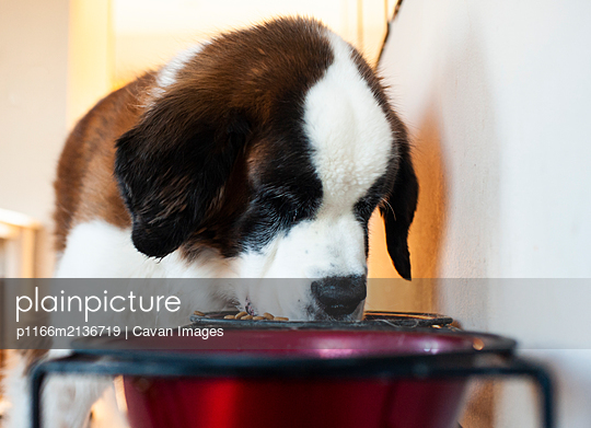 Large St. Bernard dog eating his food out of bowl at home - p1166m2136719 by Cavan Images