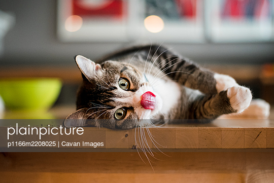 cat laying on his side on the kitchen table licking his lips - p1166m2208025 by Cavan Images