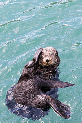Close up of a sea otter swimming in Resurrection Bay, Seward, Southcentral Alaska, USA - p442m1180892 by Design Pics