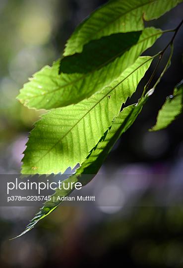 Backlit tree leaves - p378m2235745 by Adrian Muttitt