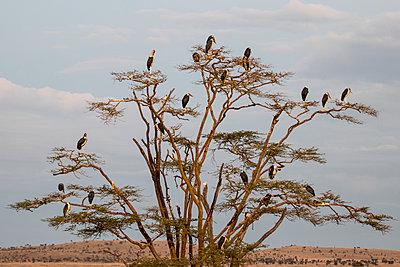 Marabou Stork - p1691m2288580 by Roberto Berdini Bokeh