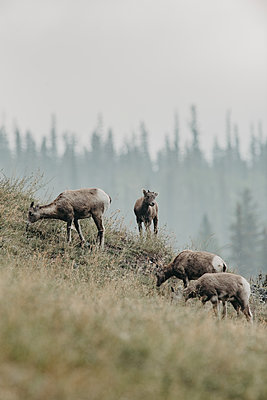The wild goats of Jasper National Park in Canada - p1455m2092350 by Ingmar Wein