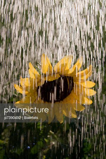Sonnenblume erfrischt - p7390492 von Baertels