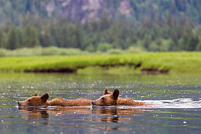Young grizzlies swimming in lake - p300m885002f by Fotofeeling