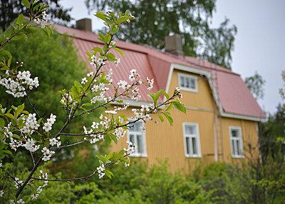 Cherry tree blooming - p3227407 by Karoliina Norontaus