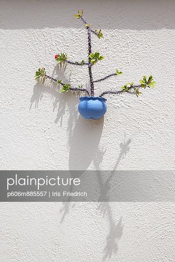 Euphorbia as decorative plant - p606m885557 by Iris Friedrich