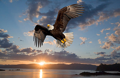 Bald Eagle In Flight At Sunset Tongass National Forest Inside Passage Admiralty Island Frederik Sound Southeast Alaska Summer Composite - p442m838196 by John Hyde