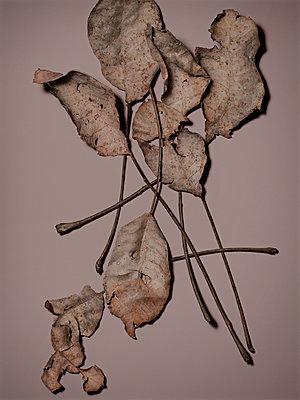 Herbstblätter von einem Nussbaum, Herbst, Blätter, Natur - p1316m1161131 von Robert Striegl