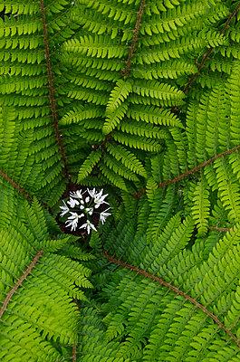 Bärlauchblüten mitten im Farn - p1562m2161167 von chinch gryniewicz