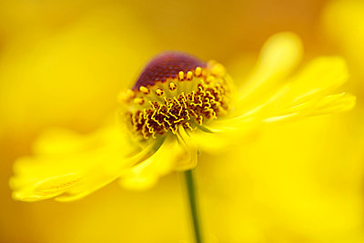 Blossom of Sneezeweed, Helenium - p300m965262f by Mark Johnson