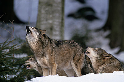 Howling wolves - p330m660889 by Harald Braun