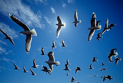 Birds flying high in sky - p8470377 by Claes Grundsten