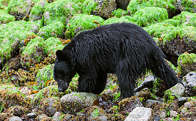 American Black Bear - p575m785299 by Lars-Olof Johansson