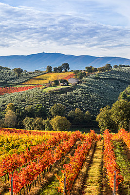 Sagrantino vineyards during autumn, Montefalco, Perugia province, Umbria, Italy - p651m2085155 by Stefano Termanini