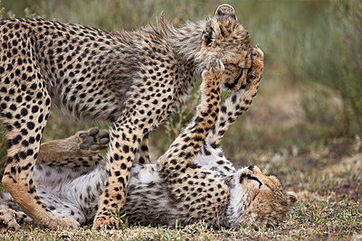Cheetah  cubs playing, Serengeti National Park, Tanzania, East Africa, Africa - p871m1056779f by James Hager