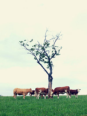 Herd of cows - p879m1134953 by nico