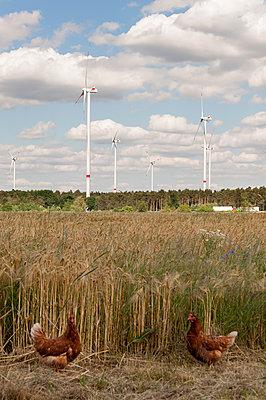 Huhnpaar vor Windpark - p1079m1184985 von Ulrich Mertens