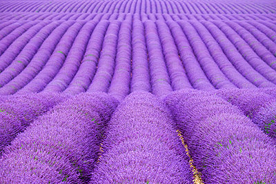Rows of purple lavender in height of bloom in early July in a field on the Plateau de Valensole - p1166m2136835 by Cavan Images