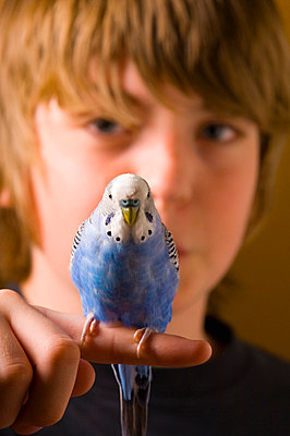 Budgie perched on a boy's finger - p4422954f by Design Pics