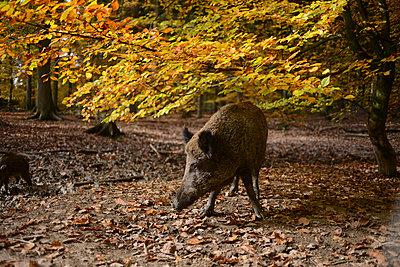 Wildschwein auf Futtersuche - p1267m1514216 von Wolf Meier