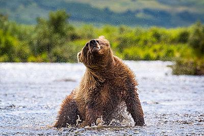 Alaska Peninsula brown bear (Ursus arctos horribilis) shaking off water, Katmai National Park and Preserve, Alaska, USA - p343m1578096 by Grant Ordelheide