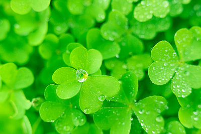 Water drops on clover leaves, close up, full frame - p5143837f by Vgl