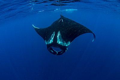 Oceanic manta ray (Manta birostris) feeding near the surface, Honda Bay, Palawan, The Philippines, Southeast Asia - p871m2122930 by Duncan Murrell
