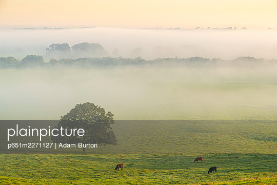 Cattle grazing in rolling countryside on a misty autumn morning, Devon, England. Autumn (September) 2020. - p651m2271127 by Adam Burton