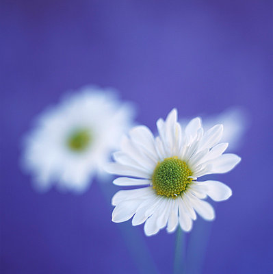Close-up of daisies - p4950199 by Jeanene Scott