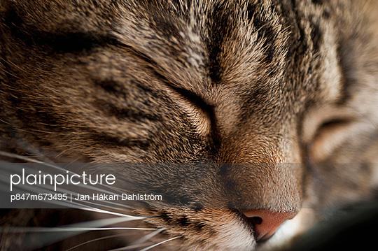 Close Up OfCatSleeping (Närbild på katt som sover)