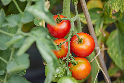 Ripe, fresh red tomatoes growing on vine - p301m2039714 by Paul Hudson