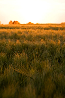 Cornfield and sunset - p7540099 by Valea Diller-El Khazrajy