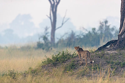 a cheetah watching over the surroundings from a mound of earth - p1166m2136260 by Cavan Images
