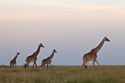 Four Masai giraffe (Giraffa camelopardalis tippelskirchi) - p871m874640f by James Hager