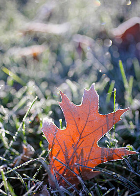 Oak leaf covered in frost on an early morning. - p3431668 by Modern Light