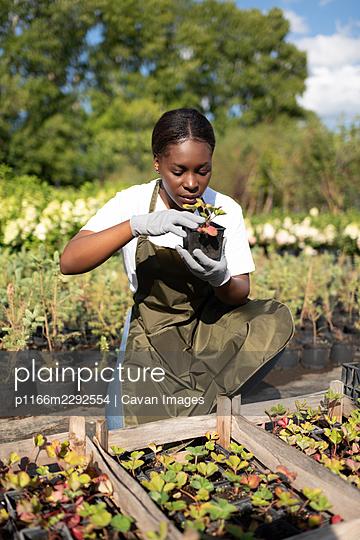 African American gardener examining seedling - p1166m2292554 by Cavan Images