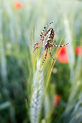 Cross spider in rye field - p300m1470059 by Nabiha Dahhan