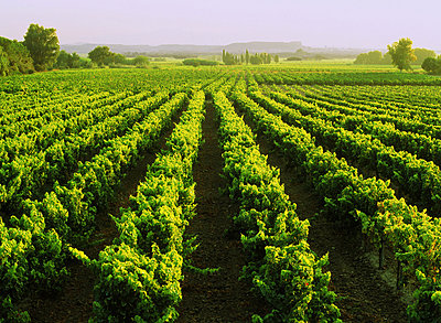 Rows of grapevines at sunrise in Cotes du Rhone region of France - p34811077 by Chad Ehlers