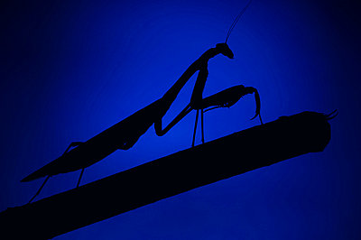 Praying Mantis - p4424712f by Design Pics